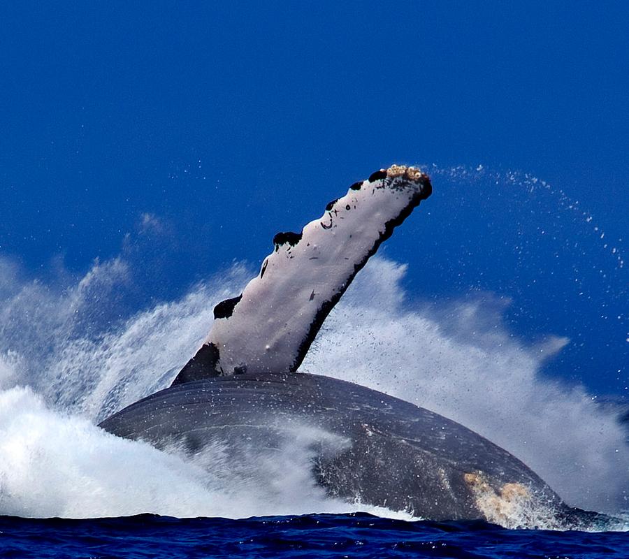 Humpback Whale crashes back into the ocean off the Kohala Coast near Kona Hawaii. Image credit: Evan Fitzer.