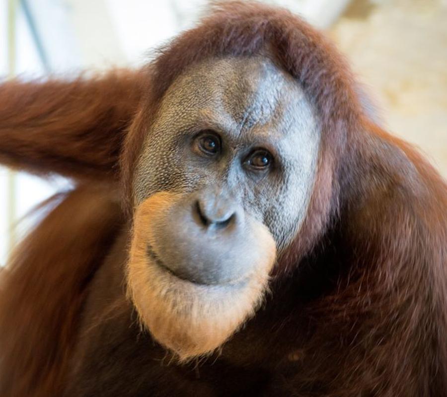 Orangutan 1