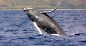 humpback-whale-california