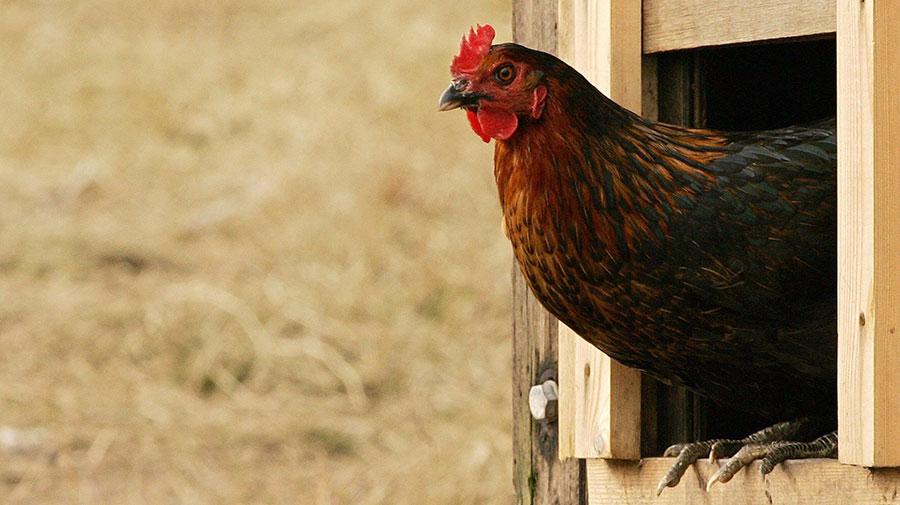 salmonella-chicken