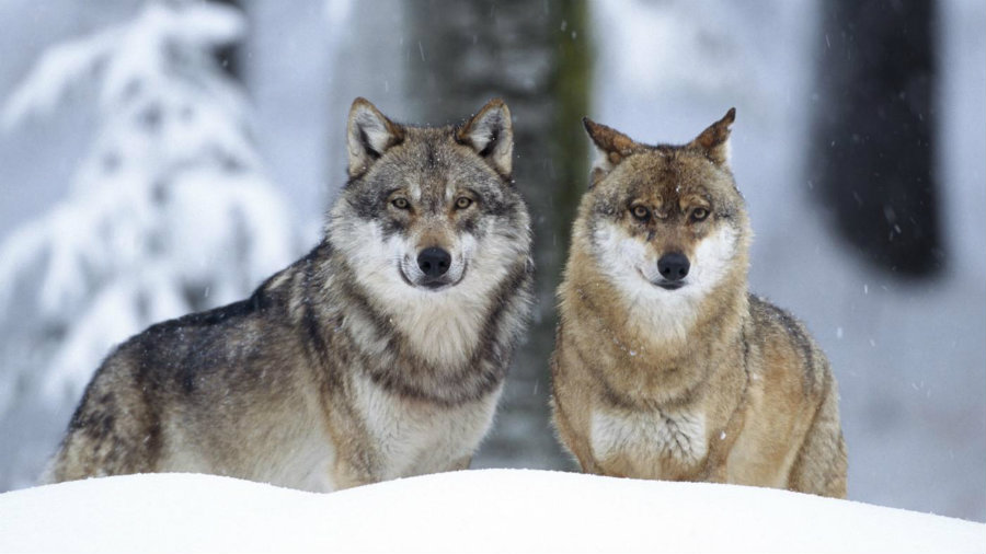 Biologists from the University of California Los Angeles have found that gray wolves, red wolves, and the eastern wolves are one type of wolf. Photo credit: Cornelia Doerr / Age Fotostock / Getty Images / Reference