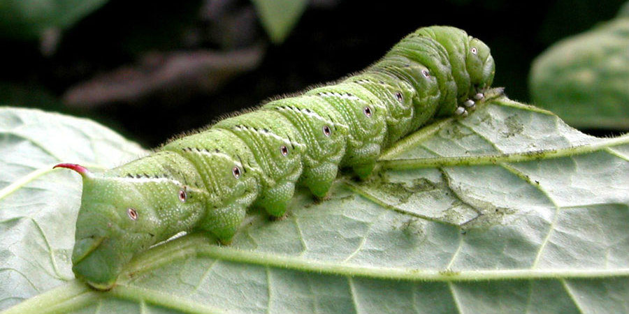 The characteristic Tobacco hornworm moth was genome sequenced by researchers in an effort to answer scientitic questions about the caterpillar's immunodefense properties. Image Credit: UGA