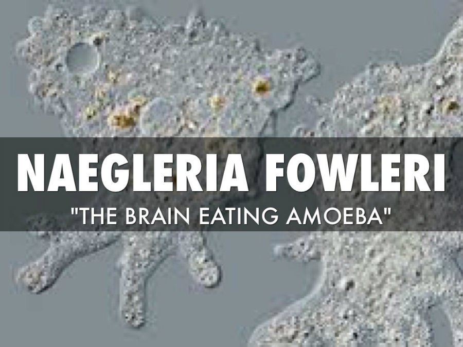 The amoeba feeds itself on bacteria, but when it comes in contact with the brain, it feeds on it and causes swelling. Photo credit: Haiku Deck
