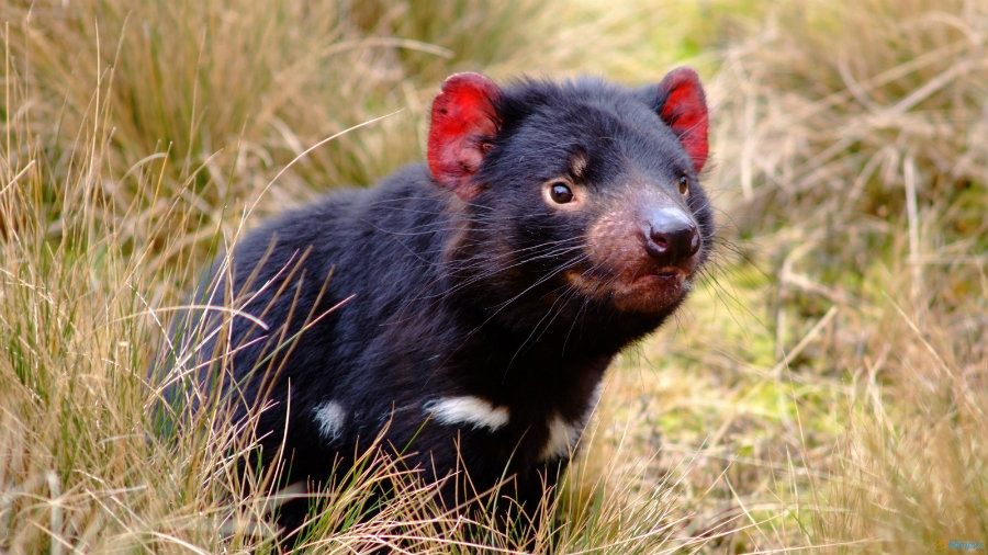 Tasmanian devils have been dwindling dramatically the past twenty years due to a strange cancer that is contagious and has killed eighty-five percent of their population. Photo credit: Wallpaper Safari