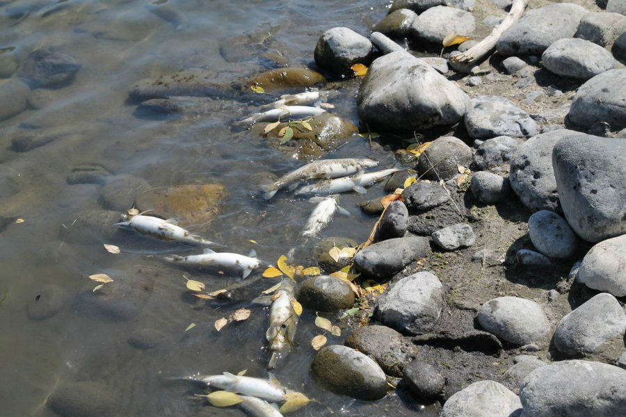 About 4,000 fish were found dead in a stretch of the Yellowstone River. Photo credit: Helenair.com