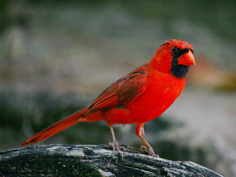 cardinals-west-nile
