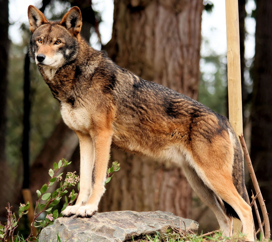 Red Wolve