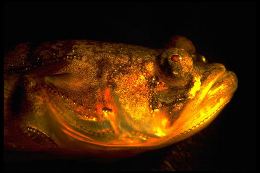 Scientists have finally discovered what makes the plainfin midshipman fish sing at night. Photo credit: Margaret Marchaterre / Cornell University / Handout / Reuters / Christian Science / Monitor