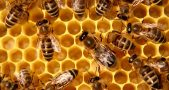 honey_bees_1
