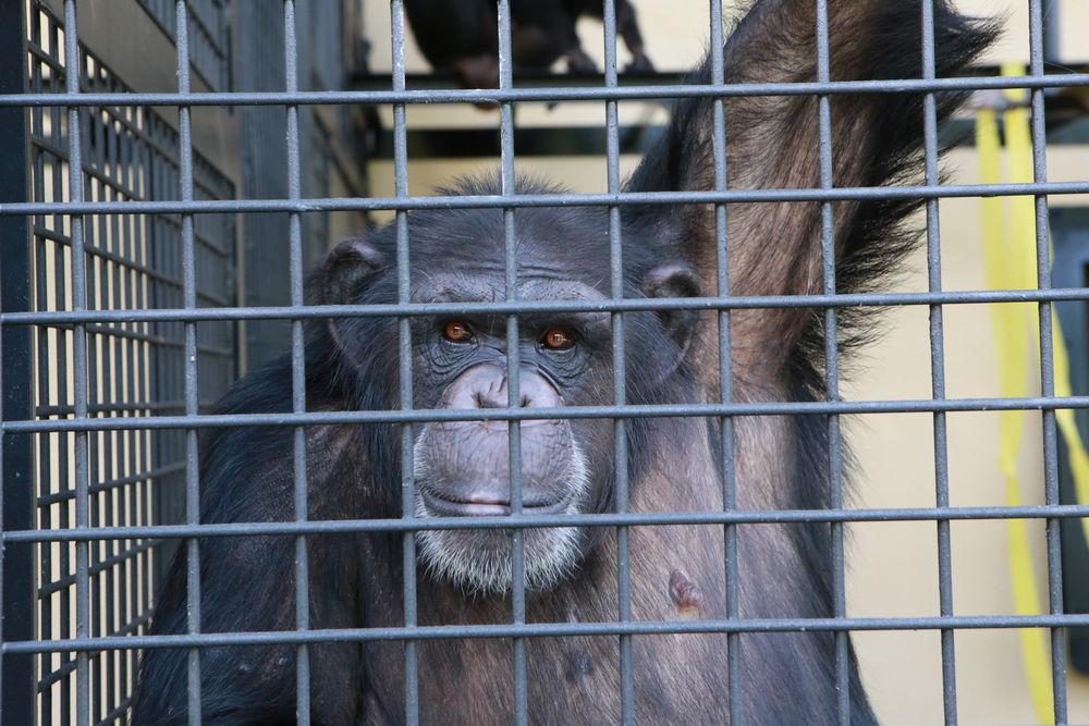 Project Chimp