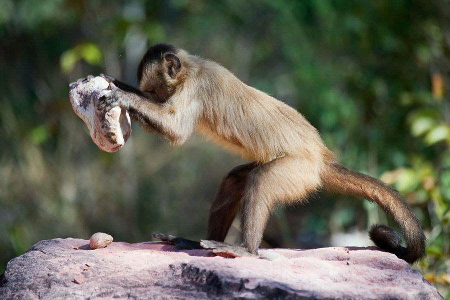 Bearded capuchins have been found making stone tools by crashing them on the floor and other stones. Photo credit: Ben Cranke / Getty / New Scientist