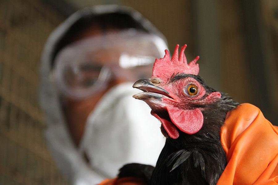 bird-flu-india