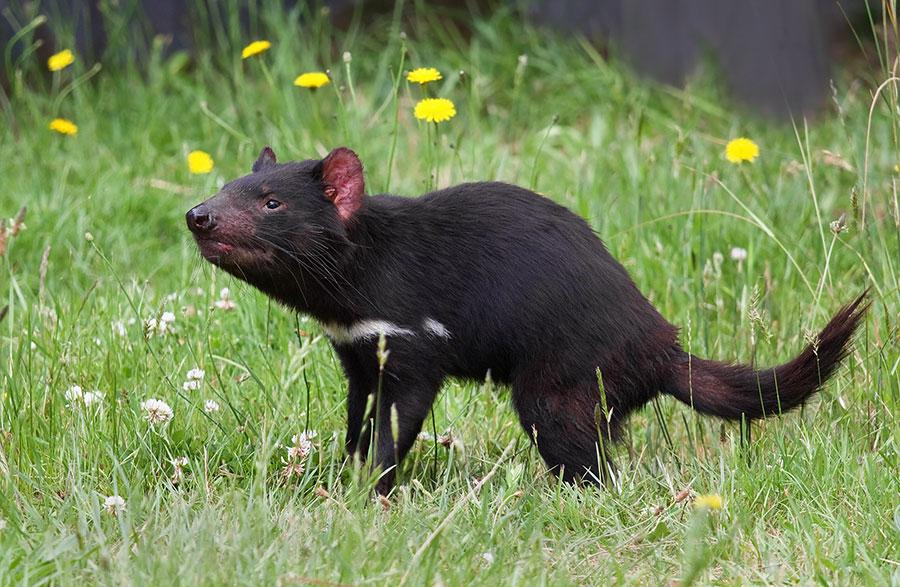 tasmania-devil