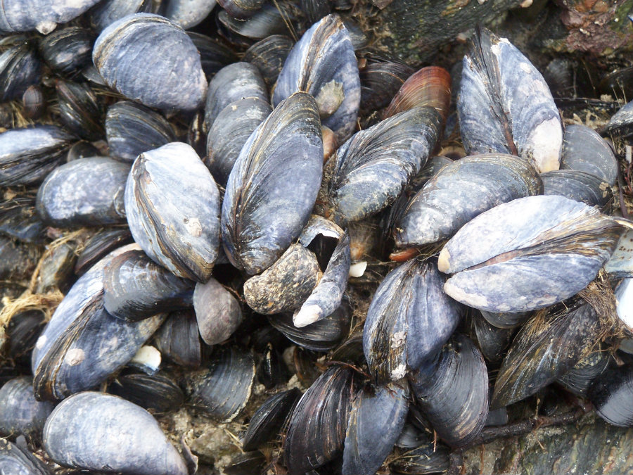 It is the first time that invasive mussels have shown up in Montana waters. Photo credit: Jpwaldron.wordpress.com