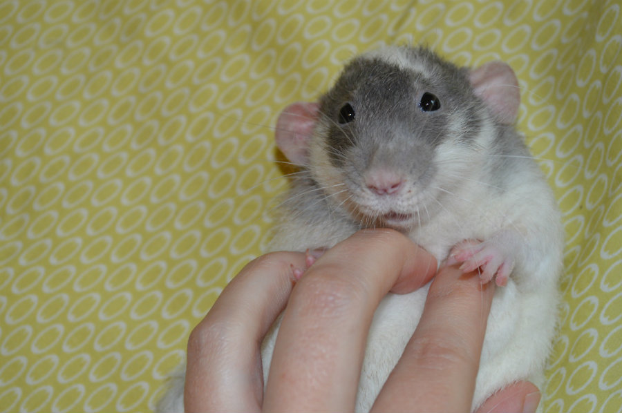 """Rats emit ultrasonic giggles when tickled, now known as """"joy jumps."""" Photo credit: Pinterest"""