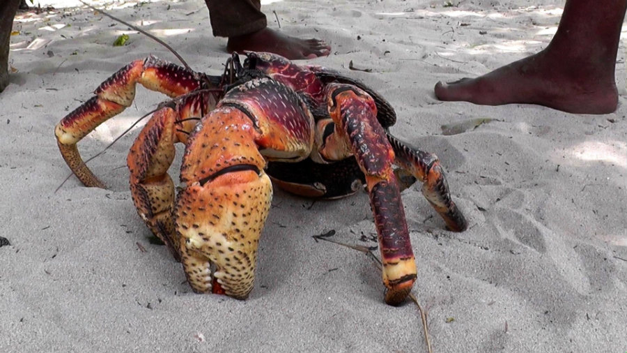 Coconut crabs were calculated to have one of the strongest pinching forces in the animal kingdom. Photo credit: Anke Heldmann Youtube Channel