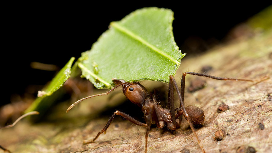 fijian-ants-agriculture