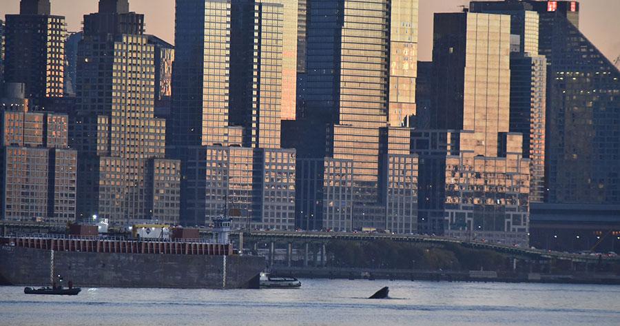 humpback-whale-hudson
