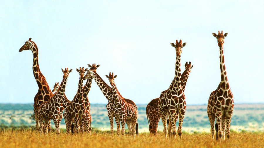 Giraffes are facing different challenges in some of its primary habitats across East, Central and West Africa. Photo credit: Toonts.com