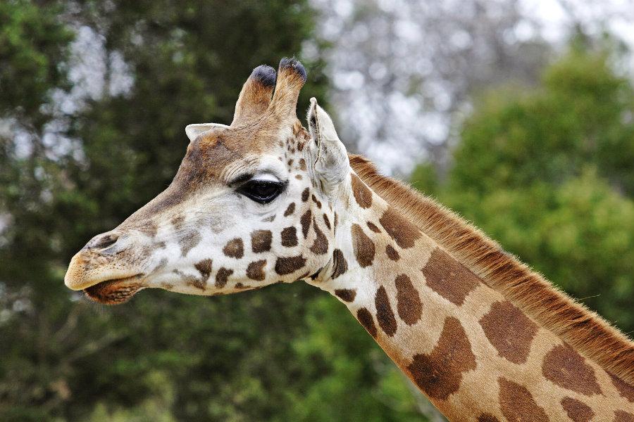 giraffes face extinction