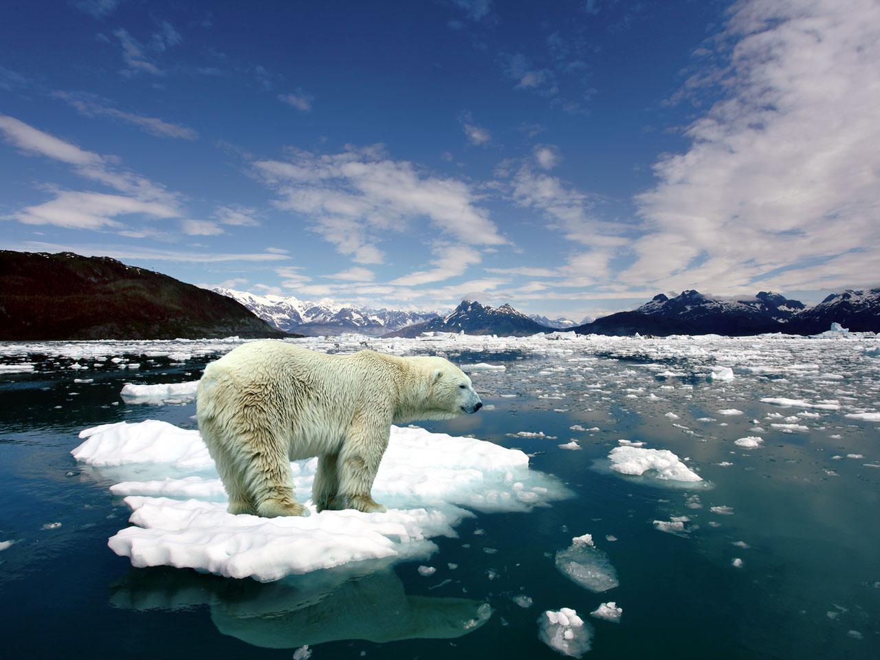 Polar Bear, Ice Melting