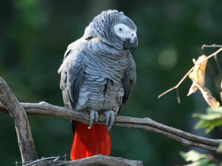 The African gray parrot is a prized pet because of its intelligence and his ability to mimic human speech. Photo credit: Hdwallpaperbackgrounds.net