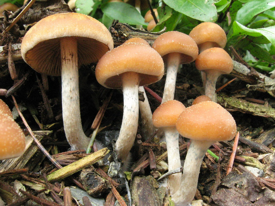 Magic mushroom could help cancer patients del with depression and anxiety. Photo credit: Alan Rockefeller / Mushroom Observer / IB Times