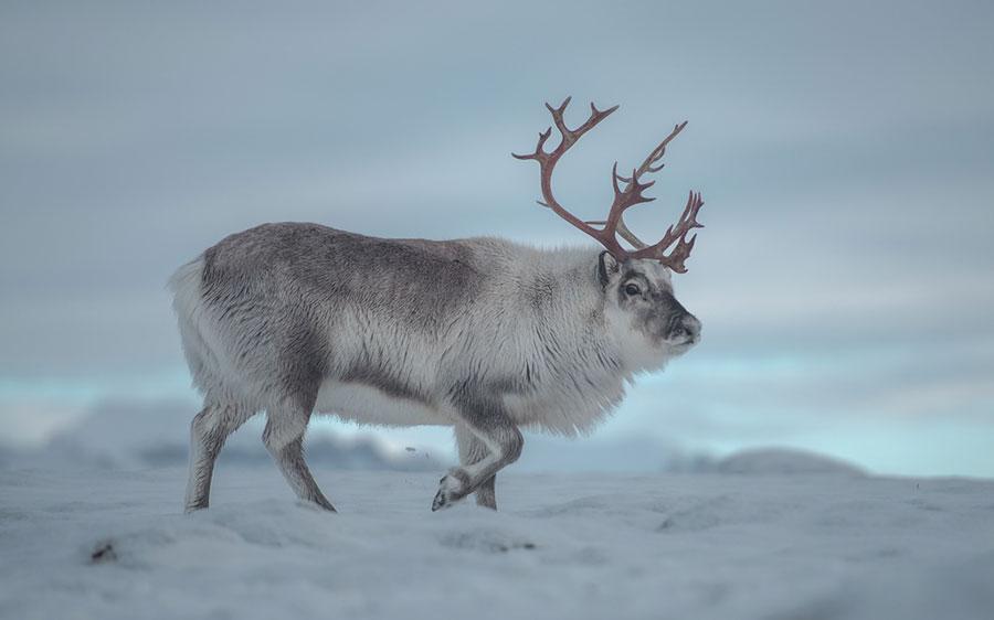 reindeer-svalbard
