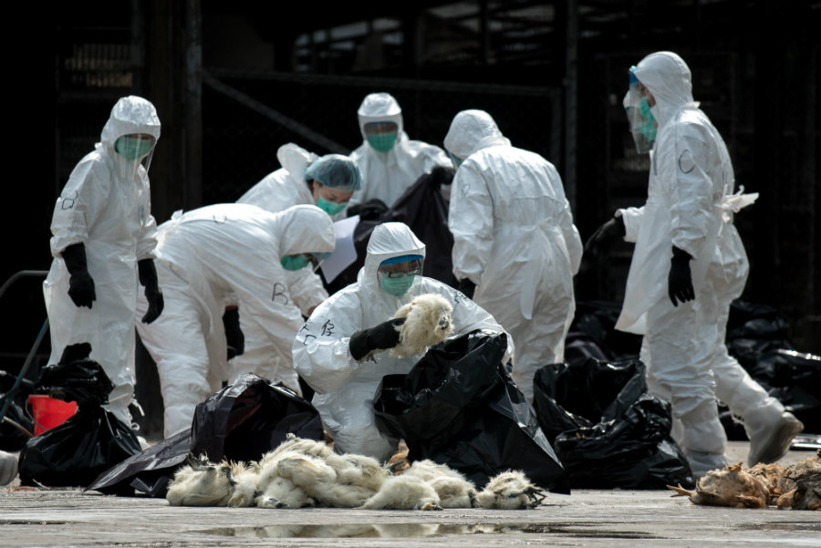 The WHO is concerned about the possibility of expansion for the deadly avian influenza. Image credit: Getty Images / AFP / Philippe Lopez / IB Times