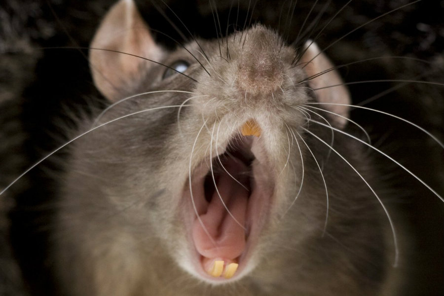 Scientists from Yale University managed to trigger the predatory killer instinct in mice. Photo credit: Elabismodelcine.blogspot.com