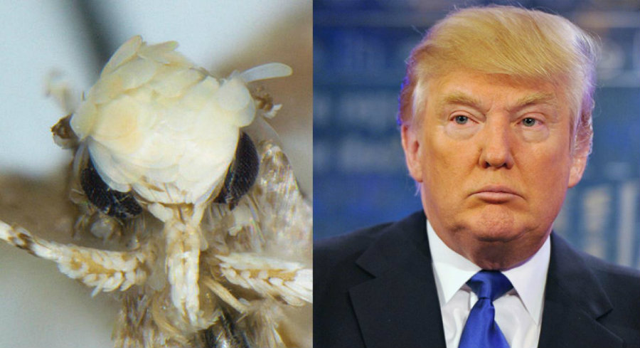 The Neopalpa donaldtrumpi. Photo credit: TN.com