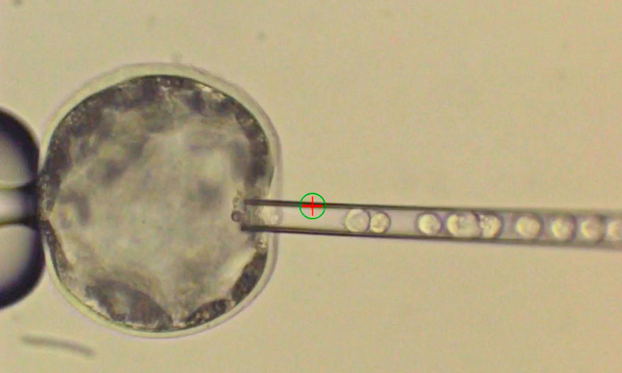 human-pig-embryo