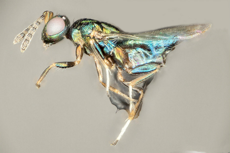 The new parasite wasp was found by Dr. Scott P. Egan, from Rice University, in 2015. Image credit: Ryan Ridenbaugh and Miles Zhang / New Scientist