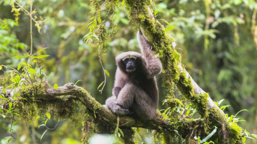 "A group of researchers found a new breed of Gibbon monkeys and named it ""Skywalker."" Photo credit: Zoological Society of London / PA / Belfast Telegraph"