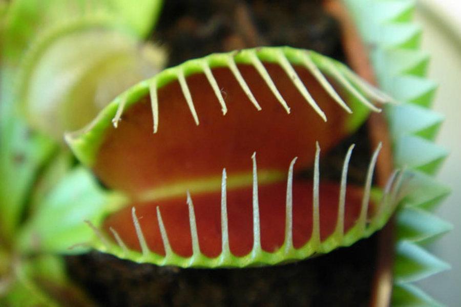 Venus flytrap. Image credit: Nike News