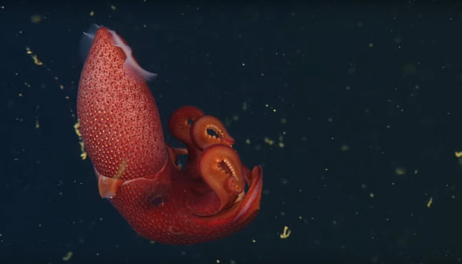 "The ""Cockeyed"" squid. Image credit: Monterey Bay Aquarium Research Institute (MBARI) Youtube Channel"