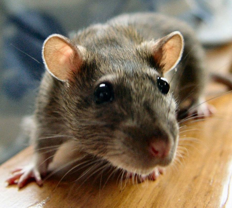 rat-urine