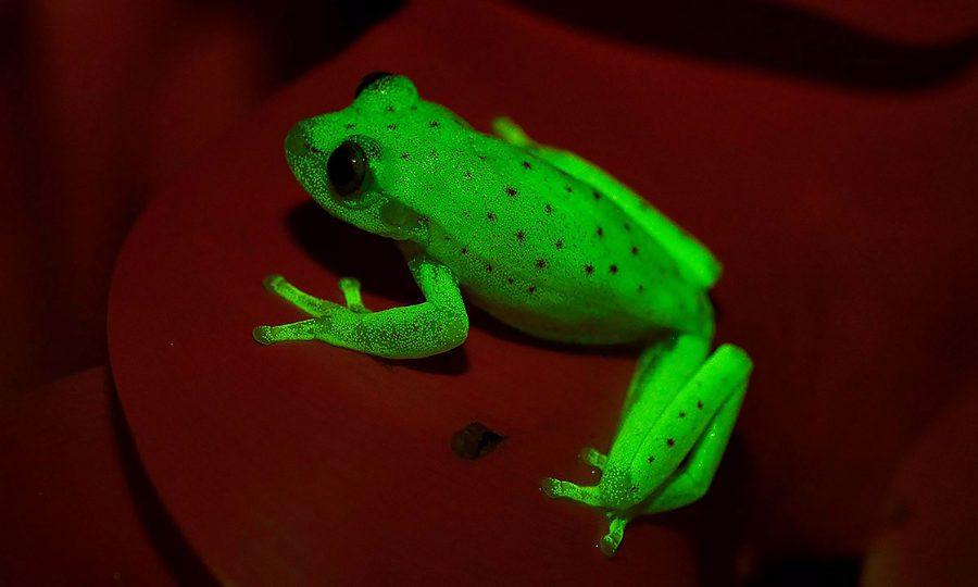 Fluorescent frog