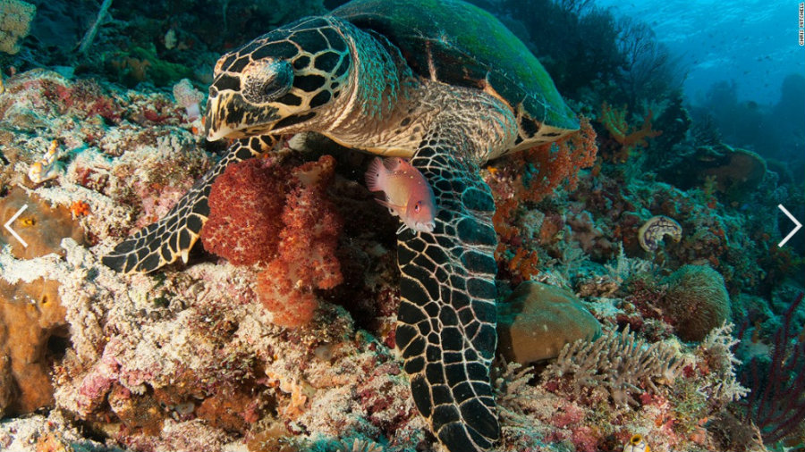 The Coral Triangle is home for six of the world's seven marine turtle species. Image credit: AquaNerd