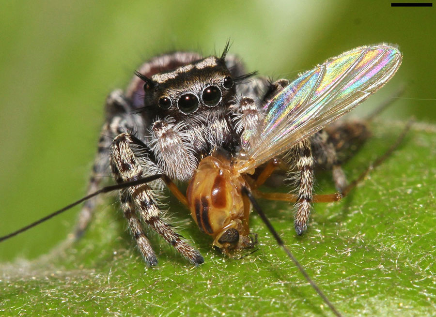 jumping-spider-prey