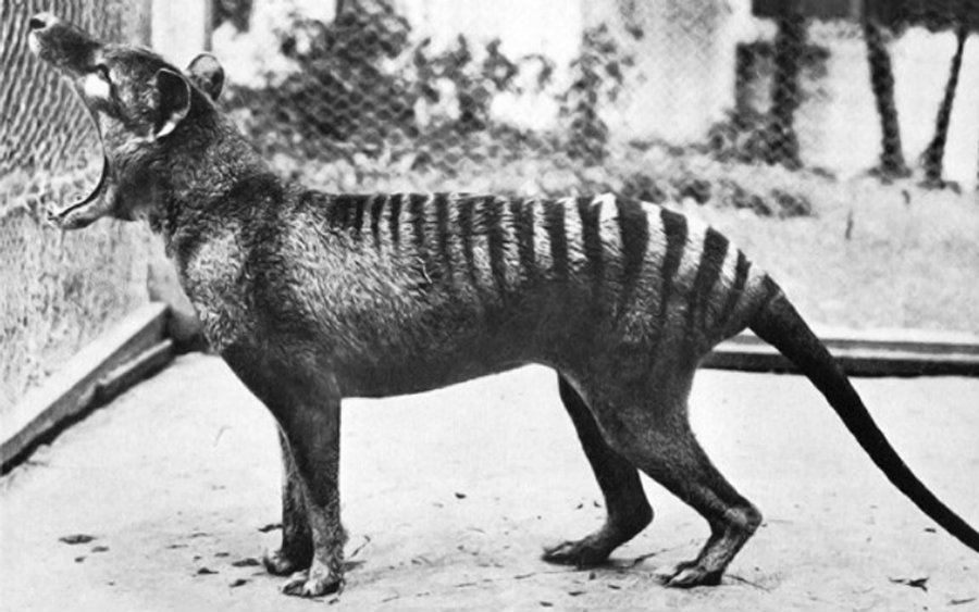 "The actions to preserve the species came too late and after the death of ""Benjamin,"" the last thylacine in Hobart Zoo. Image credit: The World of Animals"