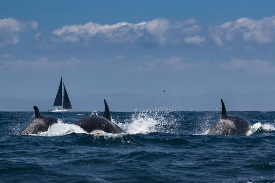 Beginning on April 20, orcas have been seen killing four calves in seven days. Image credit: National Geographic