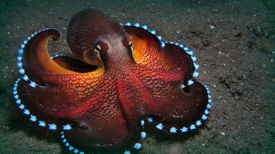 Maldive Octopus