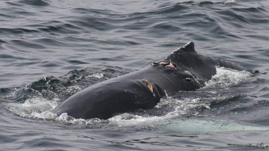 Researchers admitted that they didn't think the whale-boat collision rate was so high. Image credit: Whale and Dolphin Conservation / The Japan Times
