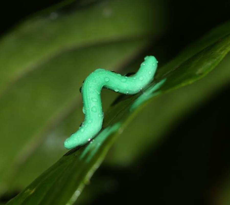 Fake Caterpillars