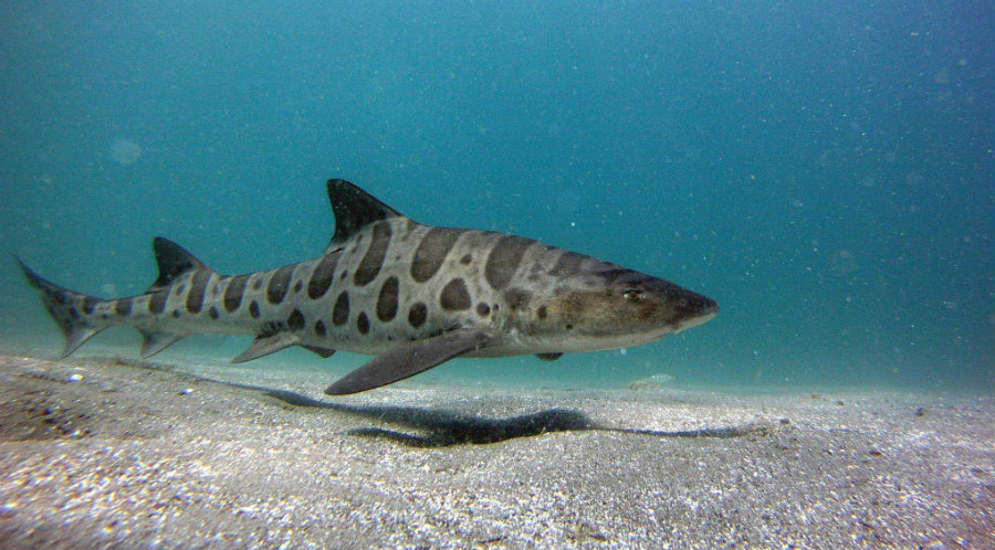 Biologists are trying to discover why so many leopard sharks are dying in the San Francisco Bay this year. Image credit: Visit Southern California
