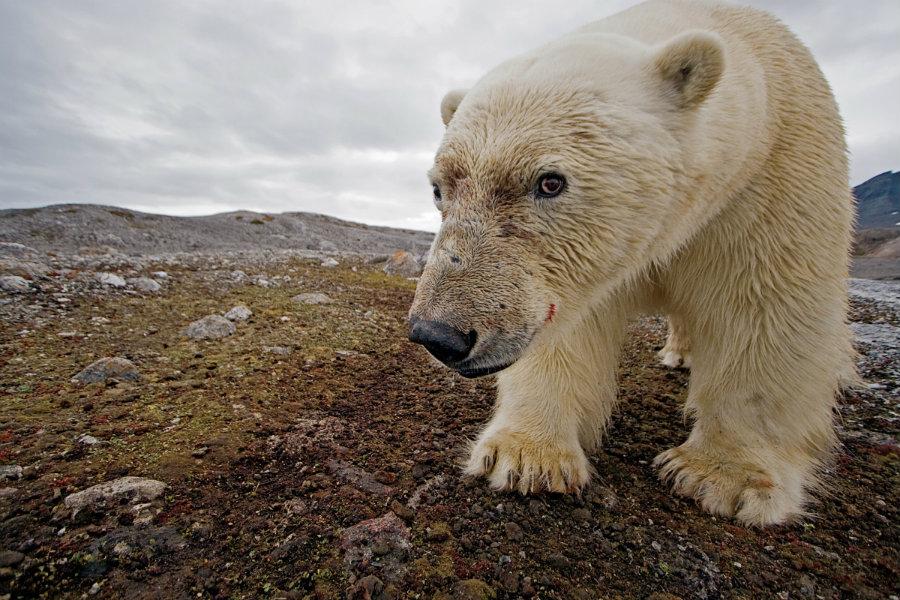 Image credit: Paul Nicklen / Kcpt.org