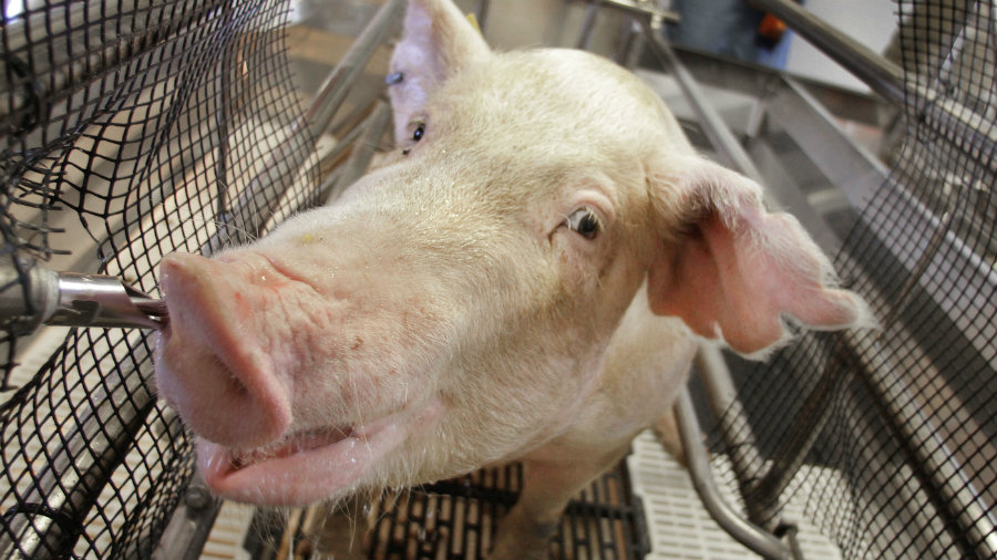 Ohio state officials confirmed today that at least two pigs tested positive for swine flu. Image credit: Seth Perlman /AP/ NPR