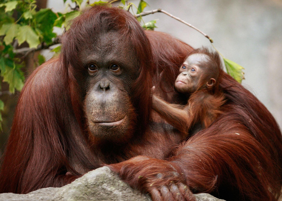 "The Orangutan is considered ""critically endangered"" due to human activities. Image Credit: Scott Olson/Getty Images"