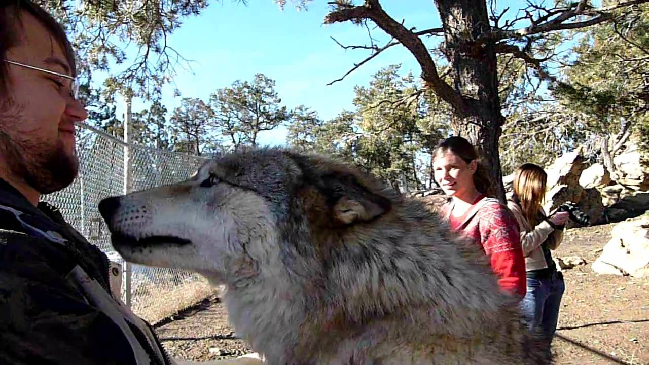 Wolves are rarely amused by people. Image Credit: DogsWolvesNMore / YouTube